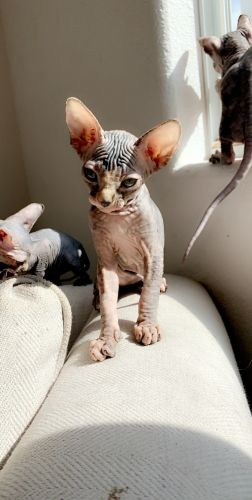 Sphynx Cats for sale in Las Vegas, NV, USA. price 1800USD
