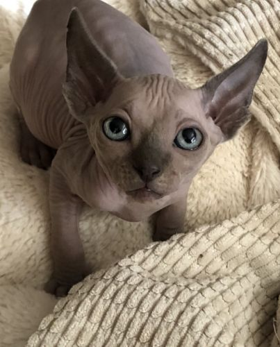 Sphynx Cats for sale in Fishers, IN, USA. price -USD