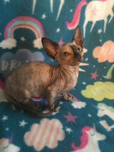 Sphynx Cats for sale in Blountsville, AL 35031, USA. price 1500USD