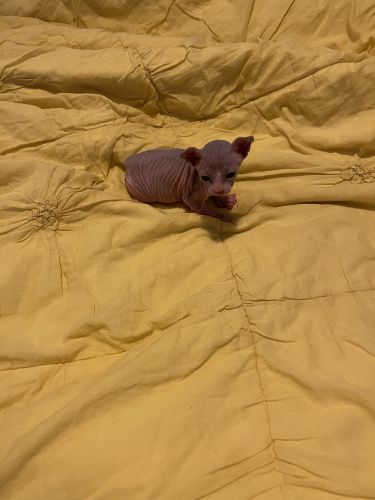 Sphynx Cats for sale in Youngstown, OH, USA. price 2500USD