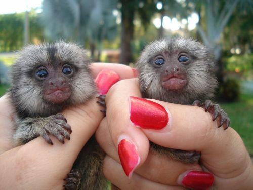 Spider Monkey Animals for sale in 100010 GA-92, Woodstock, GA 30188, USA. price -USD