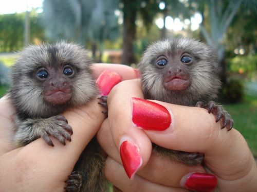 Spider Monkey Animals for sale in 100010 GA-92, Woodstock, GA 30188, USA. price 500USD