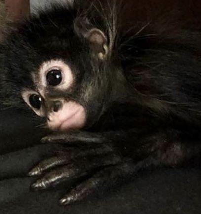 Spider Monkey Animals for sale in Bastrop, TX 78602, USA. price 15USD