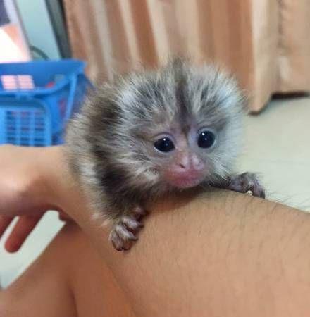 Spider Monkey Animals for sale in Phoenix, AZ, USA. price -USD
