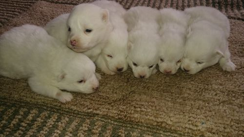 Spitz Puppies for sale in New Haven, IN, USA. price 500USD