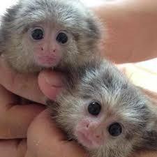 Squirrel Monkey Animals for sale in Dallas, TX, USA. price 400USD