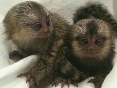 Squirrel Monkey Animals for sale in Lufkin, TX, USA. price 300USD