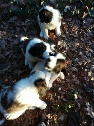 St. Bernard Puppies for sale in Okemos, Meridian Charter Township, MI, USA. price 400USD