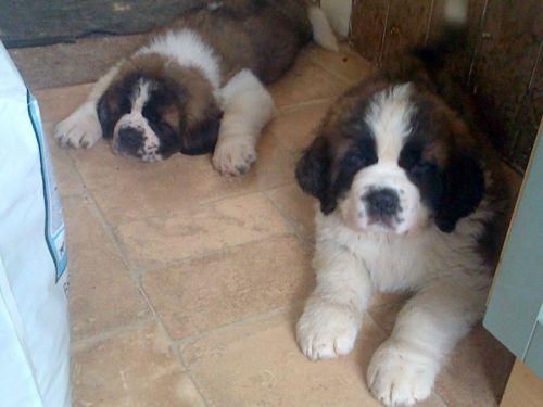 St. Bernard Puppies for sale in FL-113, Jacksonville, FL, USA. price 500USD