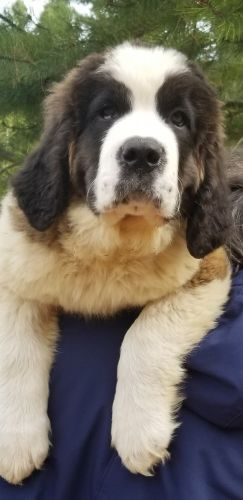 St. Bernard Puppies for sale in Delta Junction, AK, USA. price 3000USD