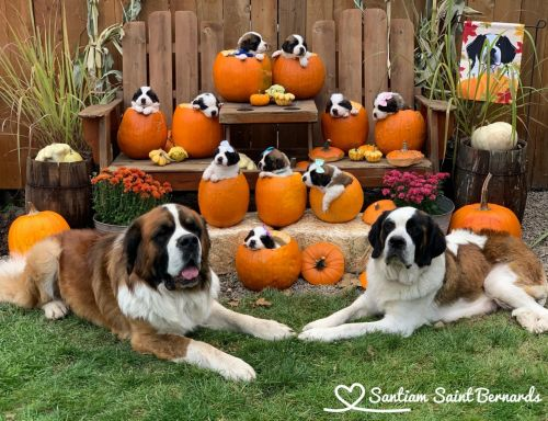 St. Bernard Puppies for sale in Stayton, OR 97383, USA. price 1100USD