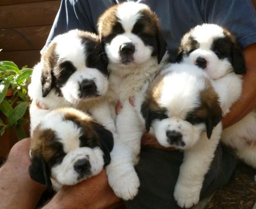St. Bernard Puppies for sale in Colorado Springs, CO, USA. price 500USD