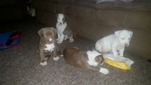 Staffordshire Bull Terrier Puppies for sale in Hudson, KY 40145, USA. price 350USD