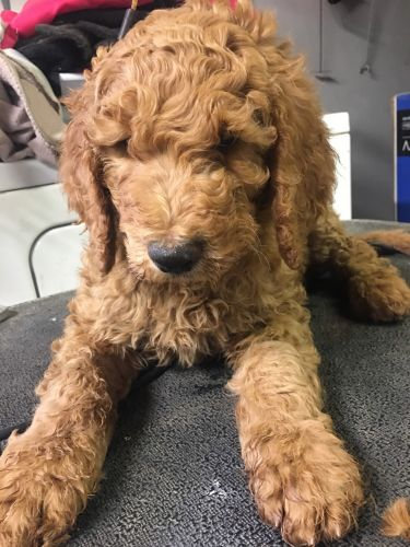 Standard Poodle Puppies for sale in Colorado Springs, CO, USA. price 1450USD