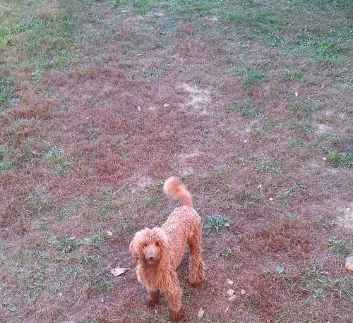 Standard Poodle Puppies for sale in Dayton, OH, USA. price 500USD
