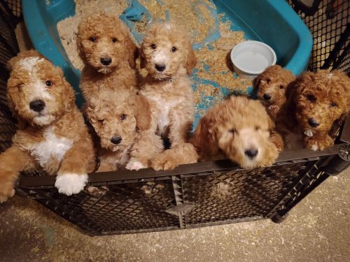 Standard Poodle Puppies for sale in Morenci, MI 49256, USA. price 750USD