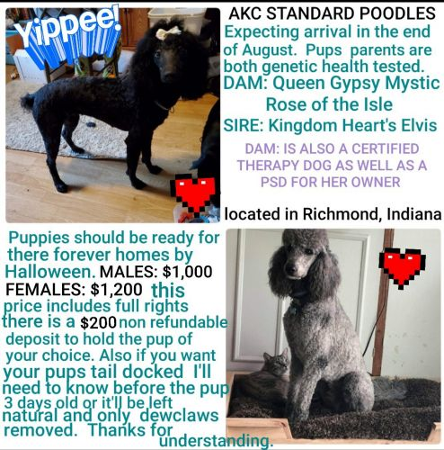 Standard Poodle Puppies for sale in Richmond, IN 47374, USA. price -USD