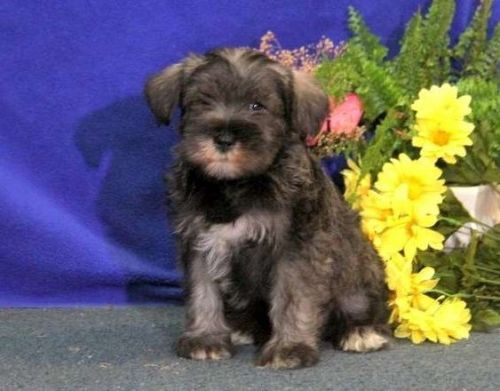 Standard Schnauzer Puppies for sale in Kingsport, TN, USA. price 600USD