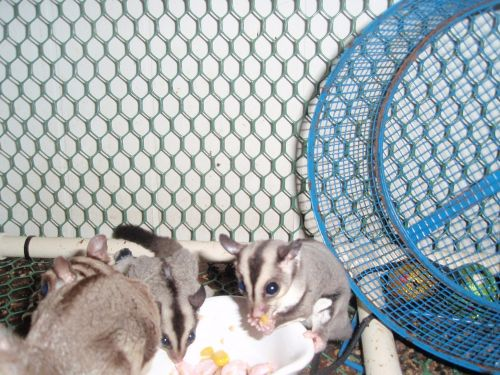 Sugar Glider Animals for sale in Grovetown, GA 30813, USA. price 200USD