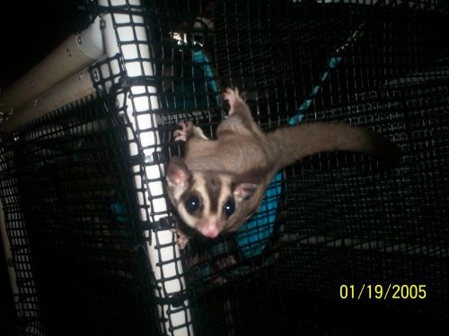 Sugar Glider Animals for sale in Grovetown, GA 30813, USA. price 150USD