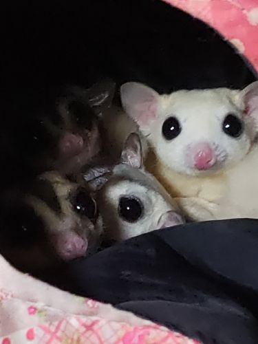 Sugar Glider Animals for sale in Charleston, AR 72933, USA. price 100USD