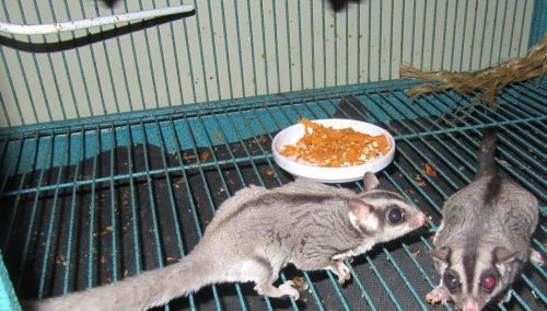 Sugar Glider Rodents for sale in Santa Rosa Beach, FL 32459, USA. price 300USD
