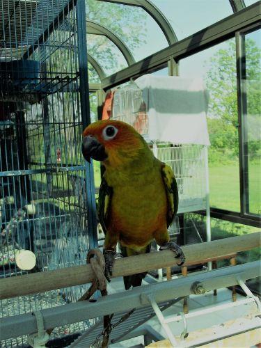 Sun Conure Birds for sale in Buda, IL 61314, USA. price 375USD