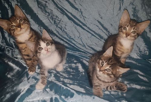 Tabby Cats for sale in Indianapolis, IN, USA. price -USD