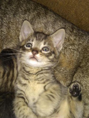 Tabby Cats for sale in Indianapolis, IN, USA. price 225USD