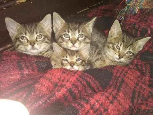 Tabby Cats for sale in Indianapolis, IN, USA. price 130USD
