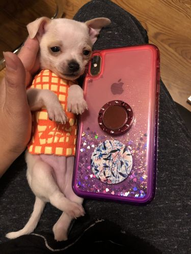 Tea Cup Chihuahua Puppies for sale in Fishers, IN, USA. price 1900USD