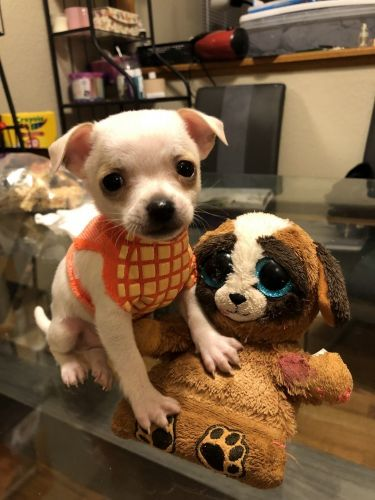 Tea Cup Chihuahua Puppies for sale in Dallas, TX, USA. price 300USD