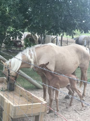 Tennessee Walker Horses for sale in Advance, MO 63730, USA. price 1000USD