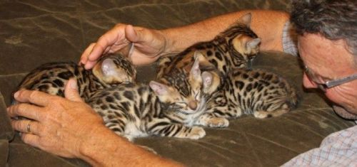 Tiger Cat Cats for sale in Stratford, WI 54484, USA. price 800USD