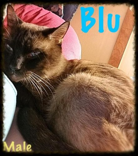 Tonkinese Cats for sale in Loch Sheldrake, NY, USA. price 2400USD