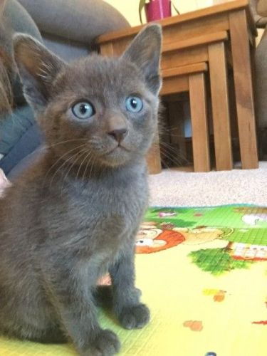 Tonkinese Cats for sale in Sacramento, CA, USA. price -USD