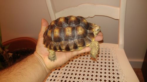 Tortoise Reptiles for sale in Manheim, PA 17545, USA. price 150USD