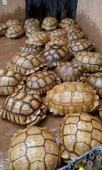 Tortoise Reptiles for sale in NC-54, Burlington, NC 27215, USA. price -USD