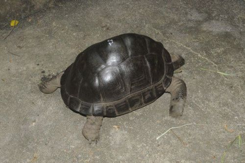 Tortoise Reptiles for sale in Manassas, VA, USA. price 400USD