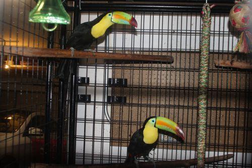 Toucan Birds for sale in Stockton, CA, USA. price 5500USD