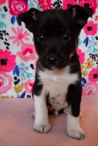 Toy Fox Terrier Puppies for sale in Clio Rd, Clio, MI, USA. price 300USD