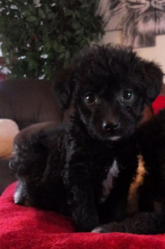 Toy Poodle Puppies for sale in Clio Rd, Clio, MI, USA. price 500USD