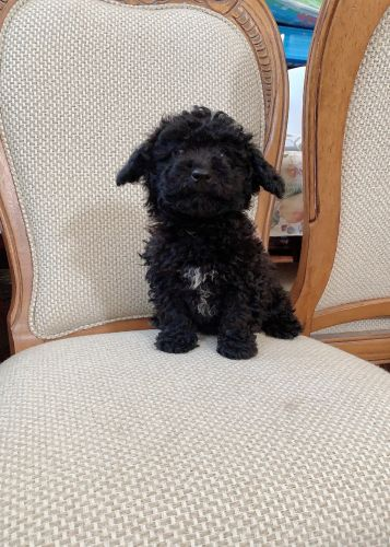 Toy Poodle Puppies for sale in Fremont, CA, USA. price 1300USD