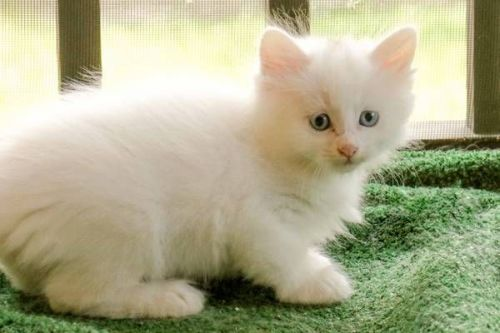 Turkish Angora Cats for sale in Los Angeles, CA, USA. price -USD