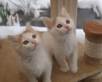 Turkish Van Cats for sale in Indianapolis, IN, USA. price -USD
