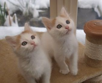 Turkish Van Cats for sale in Fremont, CA 94536, USA. price 650USD