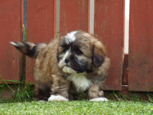 Utonagan Puppies for sale in Indianapolis, IN, USA. price -USD