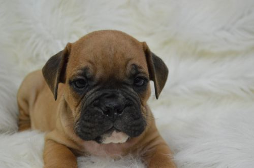 Valley Bulldog Puppies for sale in Caulfield, MO 65626, USA. price 1200USD