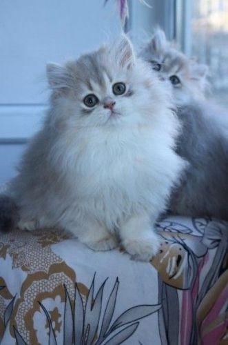 Van Kedisi Cats for sale in Fresno, CA, USA. price 600USD