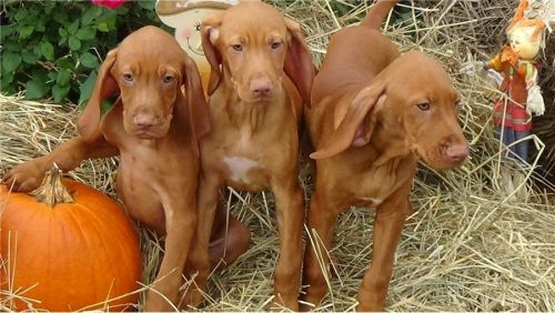 Vizsla Puppies for sale in Seattle, WA, USA. price 300USD